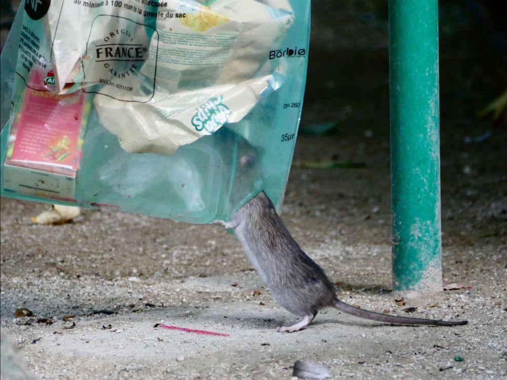 Proprete Paris rats