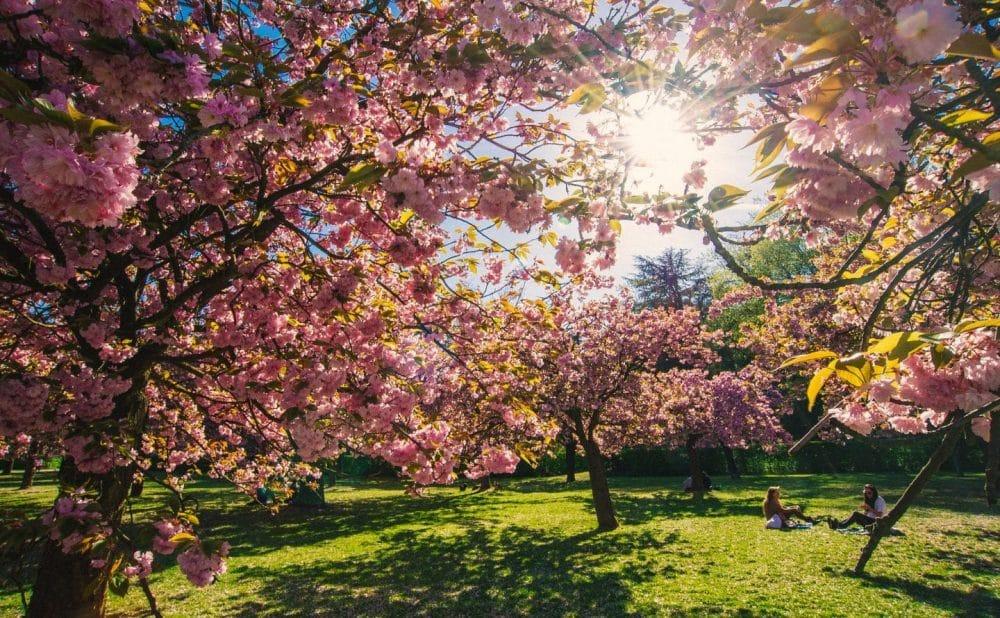 Paris sakura fleurs Sceaux