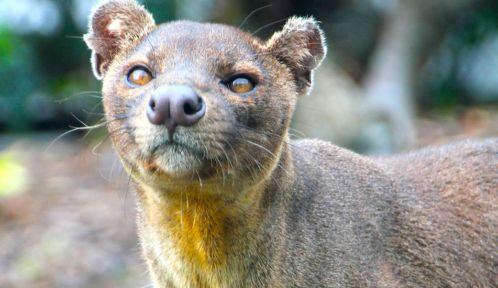 Animaux Paris zoo anniversaire 2019 fossa