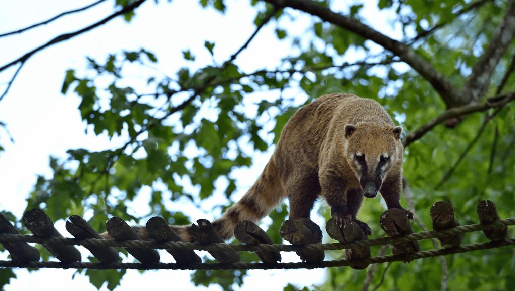 coati roux zoo de Paris anniversaire