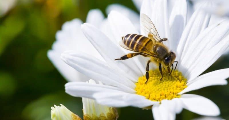 abeilles parisiennes