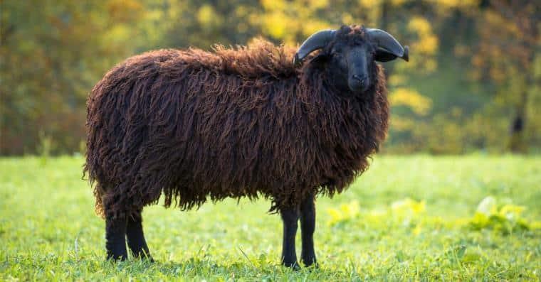 mouton voles paris