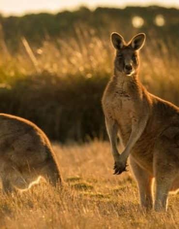 kangourous rambouillet