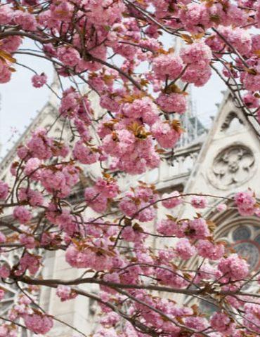 paris cerisiers en fleurs